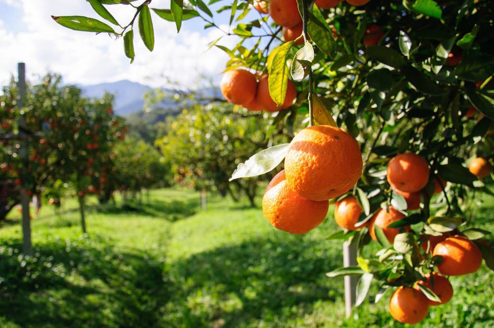 Naranjas a precio de saldo